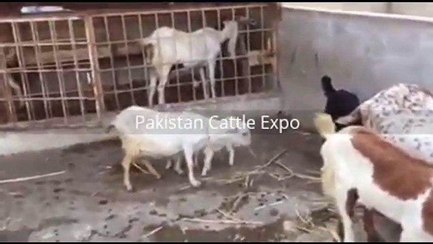Bakra Qurbani - Bakra Mandi - Goat Farming in Pakistan