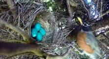 Timelapse d'un nid d'oiseau