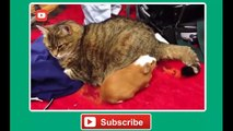 Funny cat vines   Ultimate funny vines with cats compilation 2014   Funny Videos   Dailymotion
