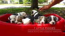 XXL Pitbull Puppies For Sale ; ManMade Kennels ; Best Dogs On Earth ; Blue Nose Pit Bull Puppies
