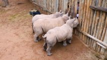 Des bébés rhinocéros pleurent quand ils n'ont plus de lait !