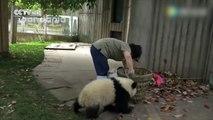 Elle rencontre de grandes difficultés pour nettoyer un enclos de bébés pandas