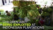 Thousands Of Children Exploited On Indonesian Plantations