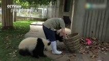Ces deux pandas ont font voir de toutes les couleurs à la dame nettoyant leur cage
