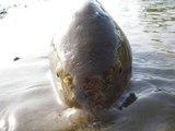 80cmの鯉が釣れるまで頑張るシリーズ 第6弾  ~ ヘビとナマズ(ミイラ)と大物と ~Keep Challenging To Catch 80cm (31in) Carp, Episode 6  ~Snake, Catfish and B