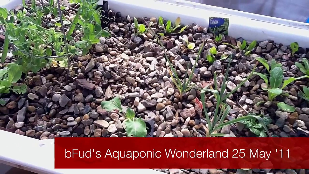 bFud's Aquaponics Wonderland 25 May 2011