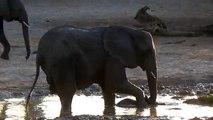 Filmano Degli Elefanti Che Fanno Il Bagno: Ciò Che Fa Il Cucciolo Li Fa Ridere Di Gusto!