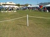 Scottsdale dog show Feb 29 2008 Samoyeds