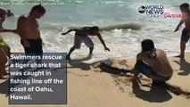Des braves jeunes portent secours à un requin-tigre blessé