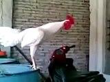 Un coq s'apprête à chanter à l'aube, le cri qu'il pousse va vous faire bien rire !