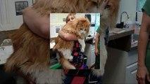 Le maine coon : Des chats incroyables et géants !