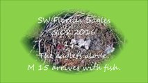 SW Florida Eagles, 5.02.2016, 15:34. Eaglets alone.  M 15 arrives with fish