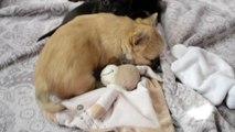 Chiots Chihuahua poils longs et poils courts