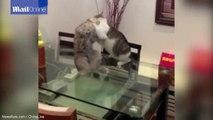 Cat-fight TKO! Feline puts impressive choke-hold on opponent