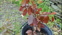 About our     ....Small Copper Beech Trees       Available Near