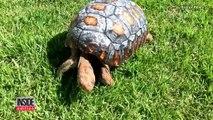 Ils sauvent une tortue en lui imprimant la 1ère carapace en 3D au monde