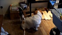 Cute baby pygmy goat plays with dogs.