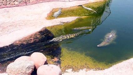 Un crocodile fait du toboggan