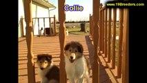 Collie, Puppies, For, Sale, In, Billings, Montana, MT, Missoula, Great  Falls, Bozeman