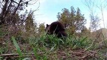 Un bປé ours Grizzly orphelin joue avec ce dresseur et apprend à vivre
