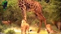 Lion vs Giraffe. Animal world film - Excellent level myriad rated photos charges broken giraffes lions - lion vs giraffe -