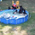Maman, il y a des ours dans la piscine !