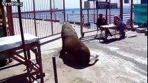 Quand les lions de mer se mettent à faire du cliff diving! En mode plongeon extreme...