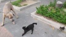 Une maman protège ses chatons face à un gros chien !