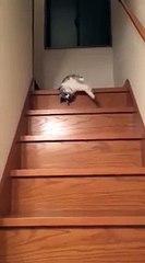 Ce chat se laisse tomber dans les escaliers par paresse
