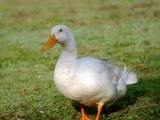Peking Duck - Peking Eend