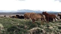 Des cheveaux sauvages viennent à sa rencontre naturellement en Islande - Pas si sauvage que 