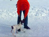 German Shorthaired Pointers Zoe Male 1 Retrieving Bumper at 15 W.wmv