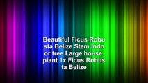 Beautiful Ficus Robusta Belize Stem Indoor tree Large house plant 1x Ficus Robusta Belize