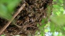 essaim abeilles 28 mai 2016