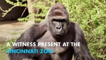 Zoo witness: Gorilla was 'protecting' 4-year-old, 'Wasn't hurting him'
