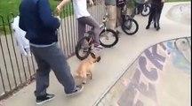 Ce chien déchire tout en skate sur une rampe - skater dog