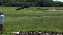 Giant Gator Walks Across Florida Golf Course ! Crocodile play golf!