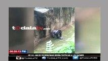 Niño cae en el foso de gorilas y matan al gorila para salvarlo-Mas Que Noticias-Video