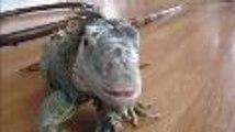 Des Charentais ont des iguanes ou des serpents comme animaux de compagnie
