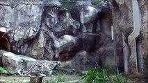 Un léopard des neiges saute contre un mur avec style
