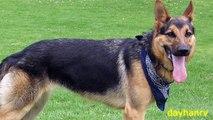 Vicious Dog Barking SOUND EFFECT Big Dog Barking, - video dailymotion