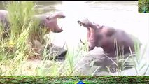 Hippos Fighting for Dominance - 01 June 2016 -Video Youtube