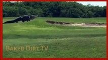 Giant Alligator Walks Florida Golf Course