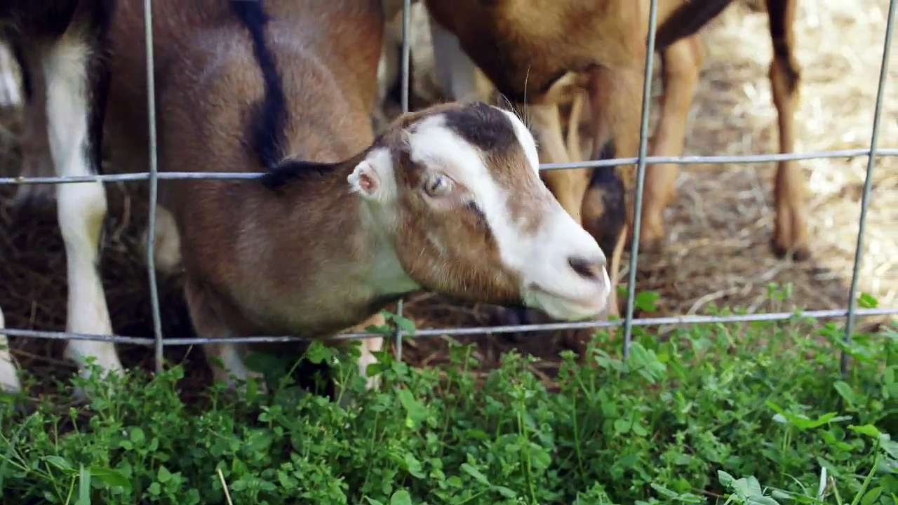 The Best Goats Make the Best Goat Cheese