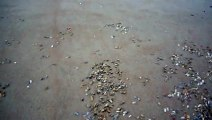 Thousands of shells out under the waves to feed
