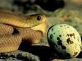 Snake-Eating-An-Egg