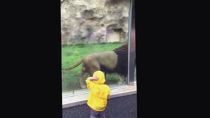 Lion at Japan zoo tries to Claw Boy through Glass