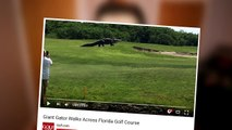 IS IT REAL- Giant Gator Walks Across Florida Golf Course Real Or Fake