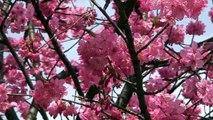 2008.3.29 三ツ池公園の桜