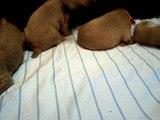 Ivette and Chisum Puppies 19 days ELITE WEIMARANERS